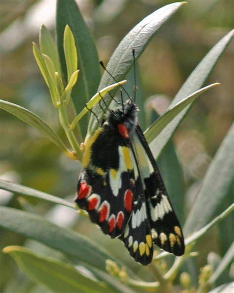 17152 All Butterfly Sml jezebel butterfly about