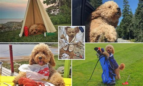 daily doodle insta insta goldendoodle samson embarks on an