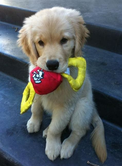the cutest golden retriever in the world the world s catalog of ideas