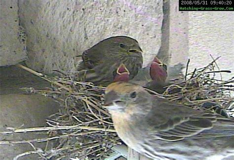 how long do house finches live how do house finches live 28 images house finches nest