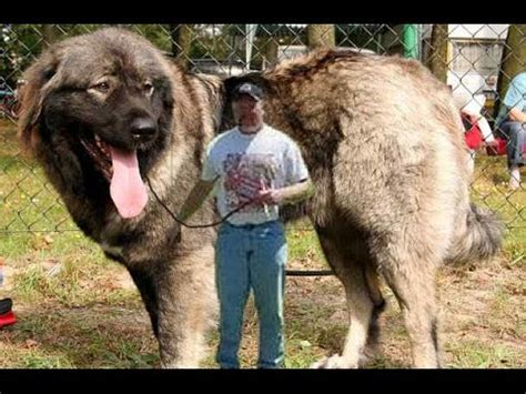 top 10 most dangerous dogs top 10 most dangerous dogs breeds in the world 2015