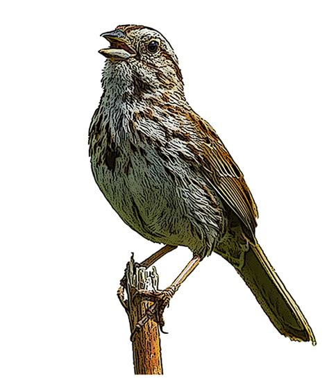 Essay On The Bird Sparrow by Song Sparrow National Bird Project Canadian Geographic