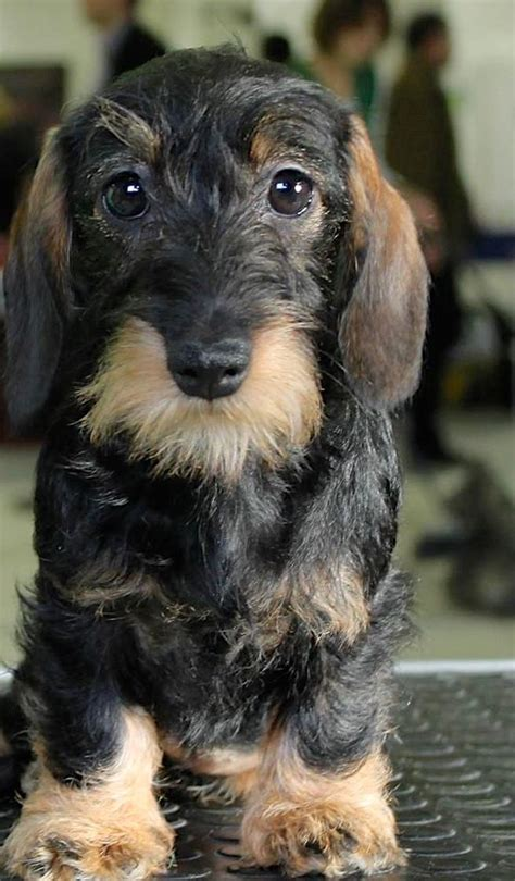 17 best ideas about wire haired dachshund on