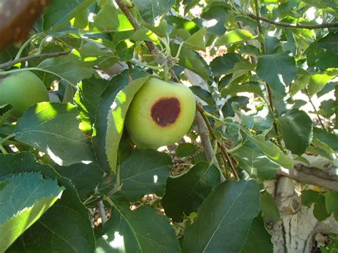 94 fruit that doesn t grow on trees xtremehorticulture of the desert sometimes low chill
