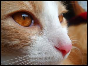 13 beautiful cats with amber eyes cat lovers