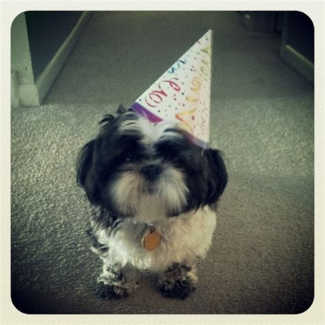 happy birthday shih tzu pictures 1000 images about shih tzus on lhasa puppys and baby shih tzu