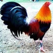 class gallos kelso puros potreronuevo images galerias gallos distintas galeria de fotos de gallos de pelea imagenes de gallos