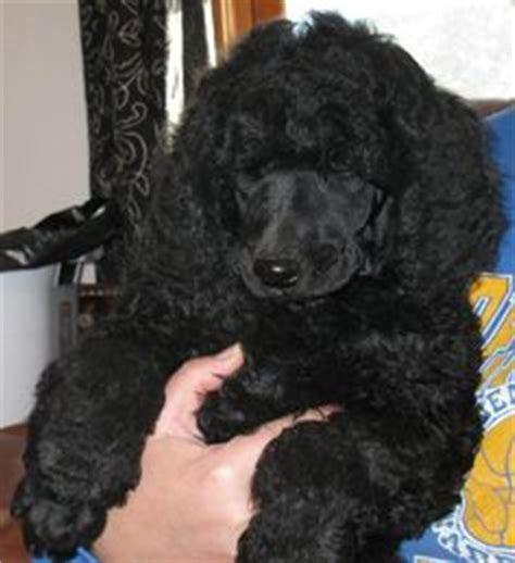 black standard poodle puppies poodles and golf on