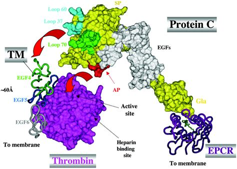 c protein coagulation regulation of blood coagulation by the protein c