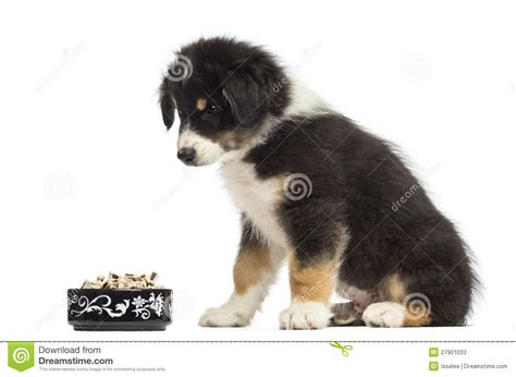 2 month puppy food australian shepherd puppy 2 months sitting stock photos image 27901033