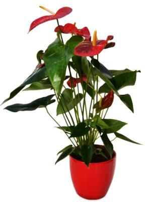 come si curano le orchidee in vaso floricoltura piazzera azienda produttrice di orchidee in