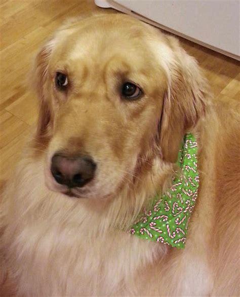 dumb golden retriever the golden retriever dogs daily puppy