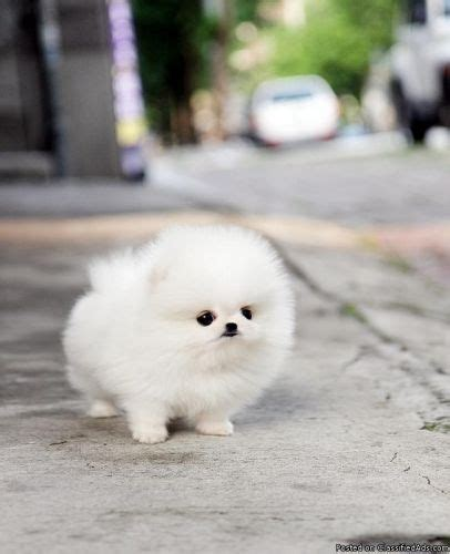 fluffy teacup puppies 25 best ideas about teacup pomeranian on teacup pomeranian puppy teacup