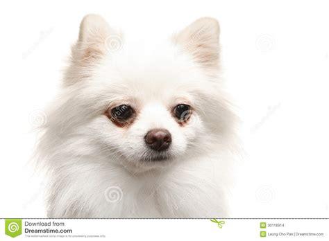chien pomeranian chien pomeranian blanc images stock image 30116914
