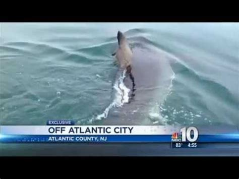 Great New Find by Great White Shark Found In Atlantic City New Jersey