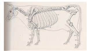 sketchbook lengkap osteologi sapi sains dan teknologi