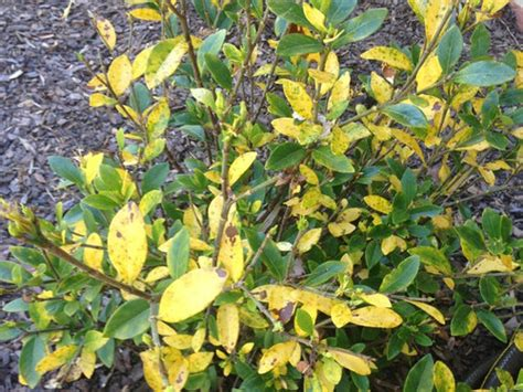 gardenia yellowing  brown leaves