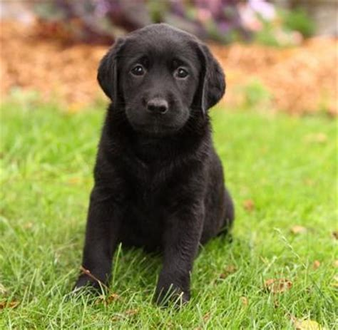 black lab puppies for free black lab puppies for free adoption 4c3f0fbd31ff1d27d2000e3f9 flickr photo