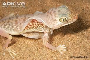 middle eastern fingered gecko photo stenodactylus