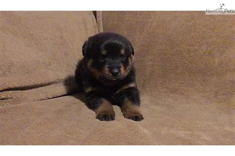 rottweilers for sale in kansas black brown rottweiler for sale in wichita ks 4429450529