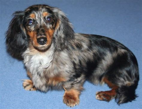 haired dapple dachshund puppies 48 best dachshund images on dachshund dachshunds and wiener dogs