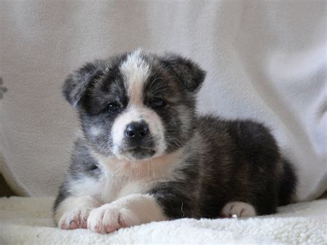 pictures of akita puppies 2