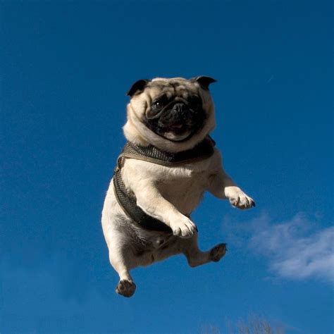 when pugs fly because it s hump day here s proof that pugs can fly what would do