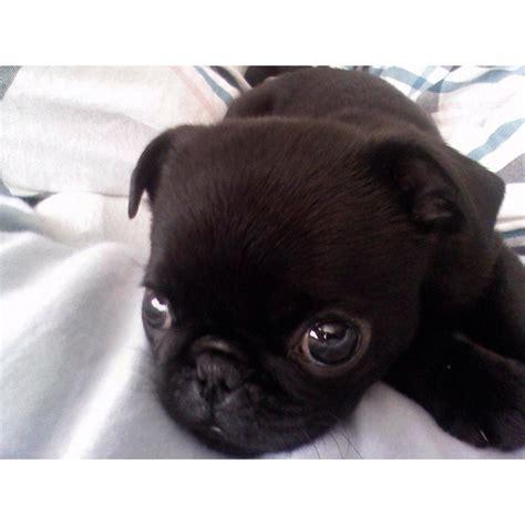 newborn black pug baby black pug pugsy malone