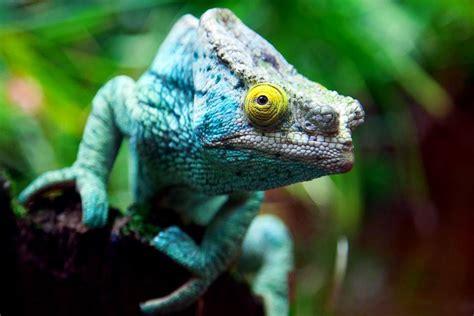 imagenes de animales endemicos especies end 233 micas en peligro madagascar