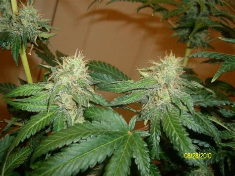 Cannabis Pictures Week By Week