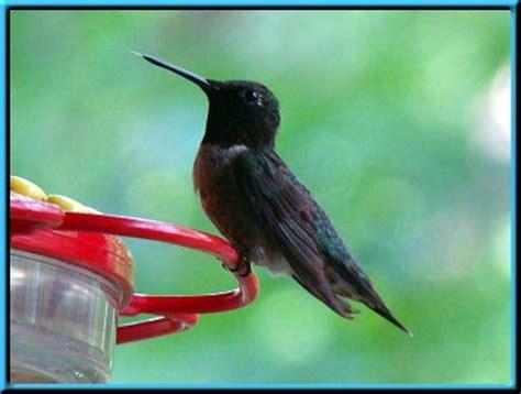 hummingbirds at nature haven