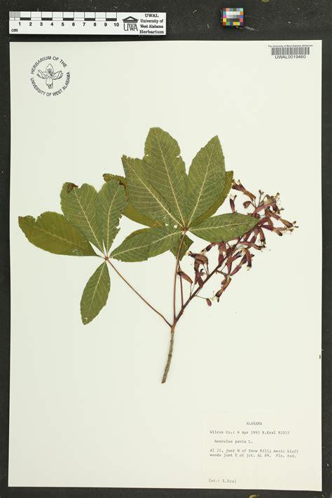 apa pavia aesculus pavia species page apa alabama plant atlas