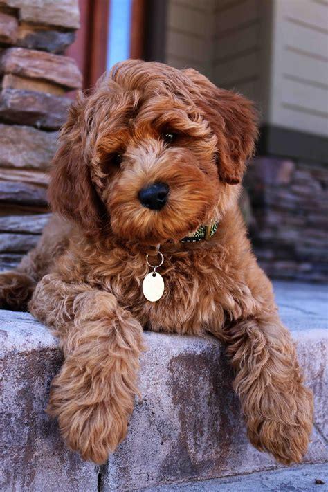 puppy adoption la labradoodle puppy adoption hill australian labradoodles