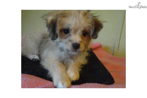 yorkie poo puppies for sale dallas tx puppies for sale in dallas fort worth design bild