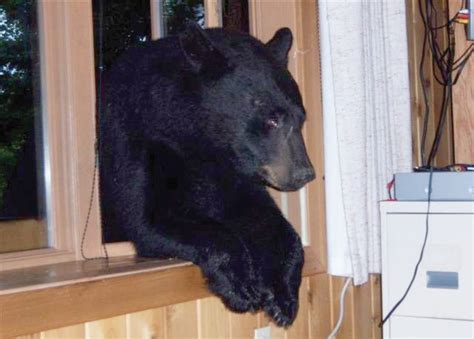 bear in house are there bears in the woods in san diego and east county the answer may be quot yes
