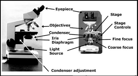 introduction to the light microscope print introduction to the light microscope flashcards