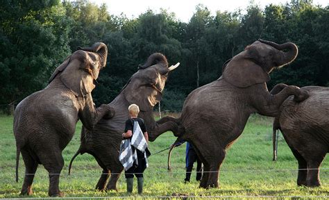 Elephant Bigsize Brown facts about asian elephants you won t believe you didn t