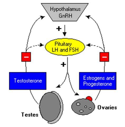 luteinizing and follicle stimulating hormones
