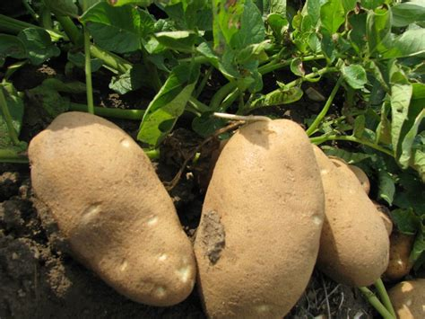 tom hughes waste management case study higher quality reduces waste potato grower