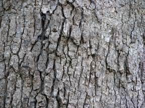 file white oak quercus alba tree bark 3264px jpg