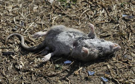 rats in backyard pictures rats in baltimore county baltimore sun