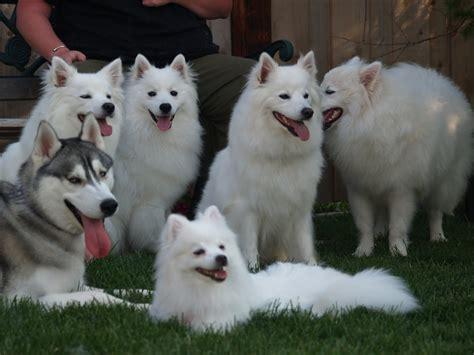 eskimo dogs eskimo