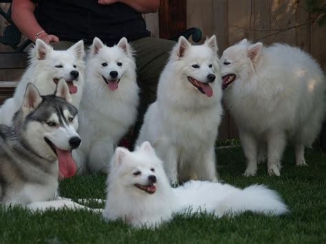 american eskimo puppies eskimo