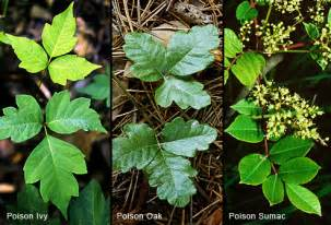 pictures of poison ivy oak and sumac rashes and plants