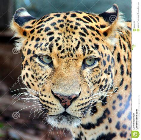 leopardo jaguar pantera imagen de archivo libre de