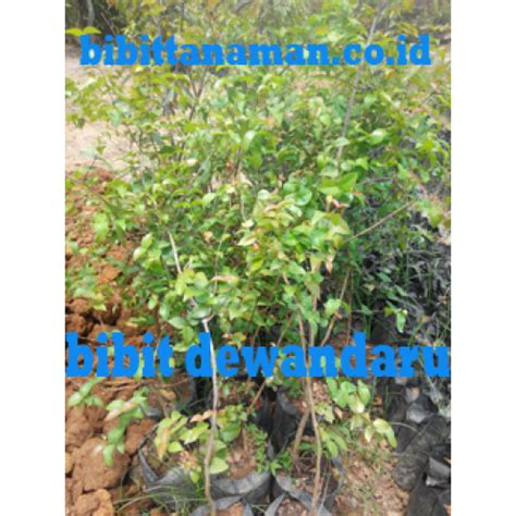 Bibit Dewandaru jual bibit tanaman unggul murah di purworejo