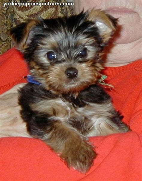 affordable teacup yorkies cheap yorkie puppies for sale yorkiepuppiespictures