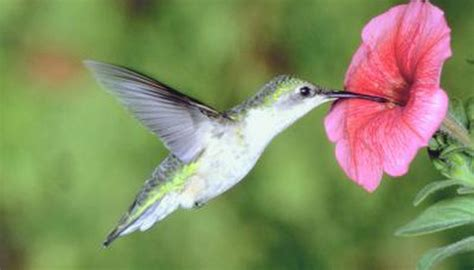 hummingbird adaptations animals mom me