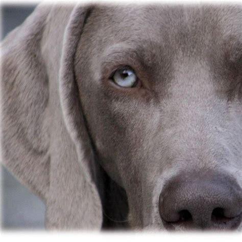 alimentazione bracco tedesco weimaraner pelo corto cani taglia grande