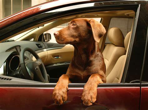 car dogs in a car